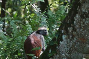 Colobo rosso Zanzibar